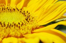Free Macro Shot Of Sunflower Royalty Free Stock Photos - 5229238
