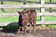Free Young Cow Royalty Free Stock Photos - 5229638