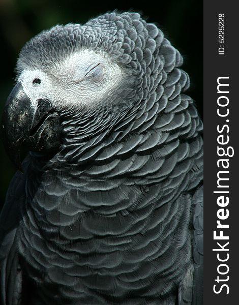 Sleepy Grey Parrot