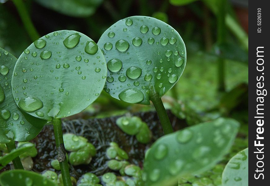 Dew drop