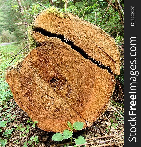 Sawed End of a Cedar Log