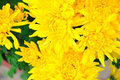 Free Chrysanthemum Flowers Stock Photography - 52294232