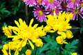 Free Chrysanthemum Flowers Stock Images - 52294304
