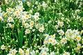 Free Chrysanthemum Flowers Stock Photo - 52294440