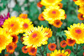 Free Chrysanthemum Flowers Stock Images - 52297194