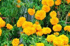 Free Chrysanthemum Flowers Stock Photo - 52294090