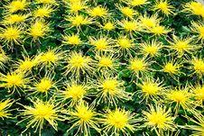 Free Chrysanthemum Flowers Stock Photo - 52294200