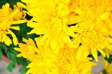 Free Chrysanthemum Flowers Stock Photography - 52294232
