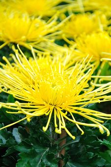 Free Chrysanthemum Flowers Royalty Free Stock Photo - 52294235