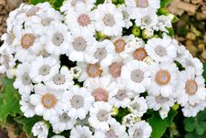 Free Chrysanthemum Flowers Royalty Free Stock Photo - 52294305