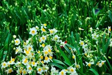 Free Chrysanthemum Flowers Royalty Free Stock Photos - 52294398