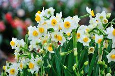 Free Chrysanthemum Flowers Royalty Free Stock Image - 52294416