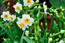 Free Chrysanthemum Flowers Royalty Free Stock Photo - 52294495