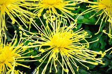 Free Chrysanthemum Flowers Stock Image - 52296921
