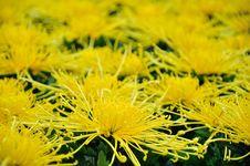 Free Chrysanthemum Flowers Royalty Free Stock Photography - 52297167