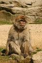 Free Barbary Macaque Monkey Royalty Free Stock Photos - 5231028