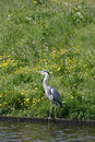 Free Heron At Water Edge Royalty Free Stock Photography - 5231107