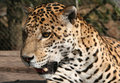 Free Leopard Ready For Attack Stock Photo - 5232250