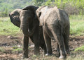 Free Elephant Peeling Royalty Free Stock Photos - 5232808