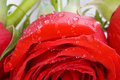 Free Red Rose With Drops Of Water Royalty Free Stock Photo - 5232855