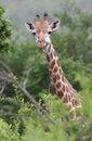 Free Giraffe Staring Stock Image - 5232881