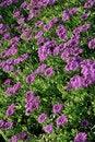 Free Violet Flower Background Stock Image - 5235751