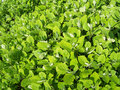Free Green Leaves Royalty Free Stock Image - 5236936