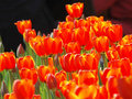 Free The Red Tulips Royalty Free Stock Photography - 5237157