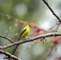 Free American Goldfinch Royalty Free Stock Photo - 5237355