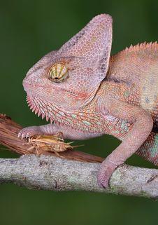 Free Chameleon Touching Cricket Royalty Free Stock Photo - 5230145