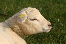 Free Portrait Of A Little Lamb Stock Image - 5230751