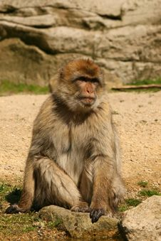 Free Barbary Macaque Monkey Royalty Free Stock Photos - 5231028