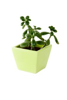 Free Plant In A Pot Royalty Free Stock Photo - 5231245
