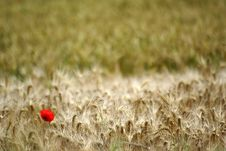 Free Papaver Flower In Wheat Field In France Royalty Free Stock Photography - 5231437