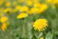 Meadow Of Yellow Dandelions Royalty Free Stock Image