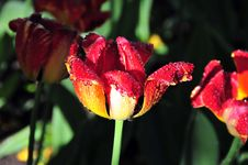 Free Red And Yellow Tulips At Dawn Royalty Free Stock Photo - 5232765