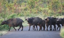 Free Herd Of African Buffaloes Royalty Free Stock Images - 5232789