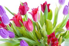 Free Spring Tulips Isolated On A White Royalty Free Stock Photo - 5232795