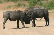 Free Two Big Male Warthog Fighting Royalty Free Stock Photography - 5232837