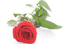 Free Red Rose With Drops Of Water Isolated On A White Royalty Free Stock Images - 5232839