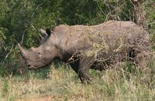 Free Rhino Coming From The Bush Stock Photography - 5232842
