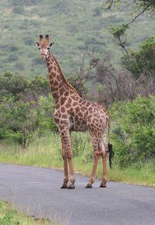 Free Giraffe Looking At Camera. Royalty Free Stock Photo - 5232885