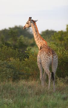Free Giraffe In Kruger Park Stock Photos - 5232933