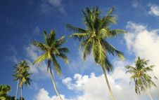 Free Palm Trees Royalty Free Stock Photography - 5233037