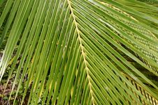 Free Palm Fronds Royalty Free Stock Images - 5233209