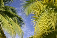 Free Palm Trees In Tahiti Royalty Free Stock Image - 5233226