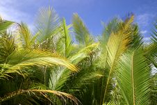 Free Palm Trees In Tahiti Royalty Free Stock Photography - 5233247