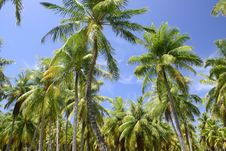 Free Palm Trees In Tahiti Stock Image - 5233281