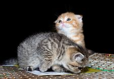 Couple Of  Pure-bred British Kittens At Show Royalty Free Stock Images