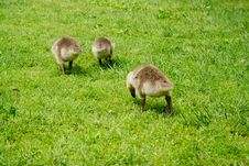 Free Family Of Geese Stock Image - 5233721